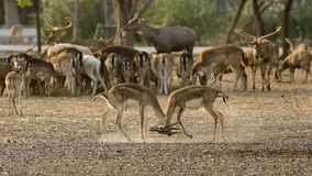 2 deer (or chital) play together Royalty Free Stock Photography
