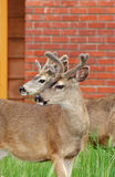Deer in the city. Two young mule deer males in a backyard of a house in Asilomar, California Stock Images