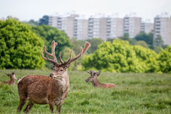 Deer in city park. Urban wildlife Royalty Free Stock Images