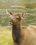 Deer Close-Up. Young deer by river side royalty free stock photos