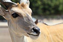 Deer Close up Stock Images