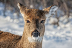 Deer. Close up of a deers face in the snow Stock Images