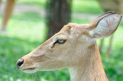 Deer. Close up the deer face royalty free stock photo