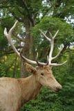 Deer close-up. Stock Images