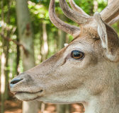 Deer. Close-up of a deer head in the forest Stock Images