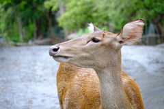 Deer. Close up head of deer in open zoo, Thailand Royalty Free Stock Photo