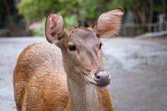 Deer. Close up head of deer in open zoo, Thailand, Morning sun Stock Photos