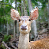 Deer. Close up head of deer in open zoo, Thailand, Morning sun Royalty Free Stock Images