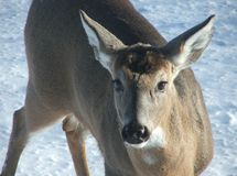 Deer close-up in snow Royalty Free Stock Photography