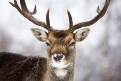 Deer close-up in wintertime Stock Photo