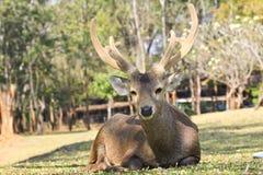 Deer close-up Stock Photos