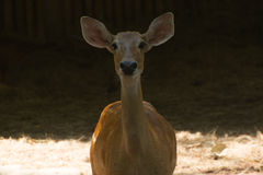 Deer. Close up in zoo Stock Photo