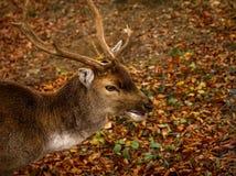 Deer closeup Stock Photography