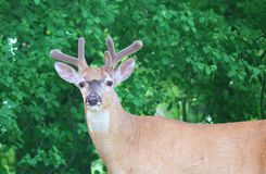 Deer closeup head portrait beautiful buck in Michigan autumn Royalty Free Stock Images