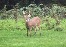 Deer closeup head portrait beautiful buck in Michigan autumn. Animal eyes stock photo