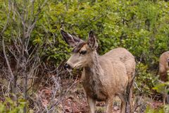 Deer in Colorado. Looks on stock photography