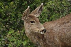 Deer in Colorado. Mule Deer in Colorado feeding stock images