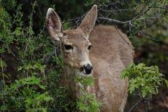 Deer in Colorado. Mule Deer in Colorado feeding stock photo