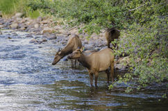 Deer in a Colorado Stream Stock Photo