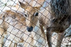 The deer that is confined. To the cage stock images