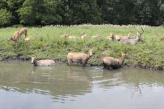Deer are cooling in the water Royalty Free Stock Image