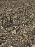 Deer Corn Fields. Winter Corn Fields Stock Photos