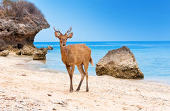 The deer costs on sand Royalty Free Stock Photo