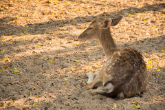 Deer couch relaxing afternoon Royalty Free Stock Image