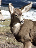 Deer Country. Young Mule Deer hanging out on an early Spring day royalty free stock image