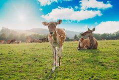 Deer in a countryside field Royalty Free Stock Photos