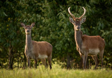 Deer Couple. In Killarney National Park,Kerry,Ireland Royalty Free Stock Image