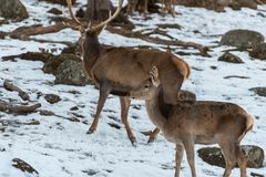 Deer couple wandering in snow. A stag and a hind wandering around in a snowy landscape in Sweden Stock Photography