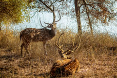 Deer couriously watching you Royalty Free Stock Photos