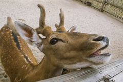 The deer is crooked. A deer twists and laughs at people Royalty Free Stock Image