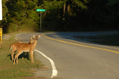 Deer Crossing Royalty Free Stock Images