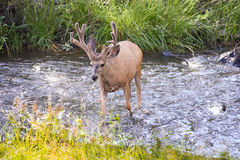 Deer crossing Royalty Free Stock Photography