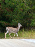Deer crossing dirt road. Royalty Free Stock Photography