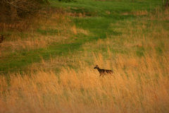 Deer Crossing Field. Deer in field. Great Smoky Mountains National Park Stock Images