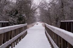 Deer Crossing a Path. A deer crossing a path by a bridge over the Platte River Royalty Free Stock Images