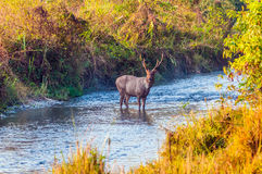 Deer crossing river Royalty Free Stock Photography