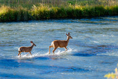 Adult deer shows fawn how to cross river Stock Images