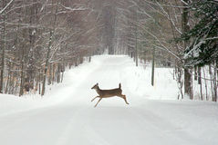 Deer Crossing Road Royalty Free Stock Images
