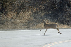 A Deer Crossing a Road Stock Photos