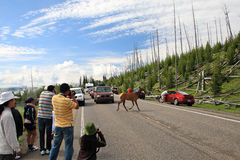 Deer crossing road,Yellowstone royalty free stock images