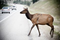 Deer crossing street Royalty Free Stock Photography