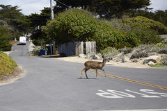 Deer crossing street Stock Image