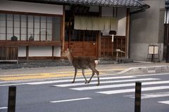 Deer crossing the street over a zebra crossing