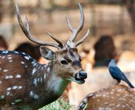 Deer and crow Stock Photography