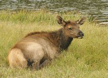 Deer Cub. Young deer laying by the river royalty free stock photos
