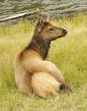Deer Cub. Young Deer resting by the River royalty free stock photos